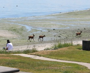 Three deer saunter along a beach at low tide in a Manchester park on the Kitsap.