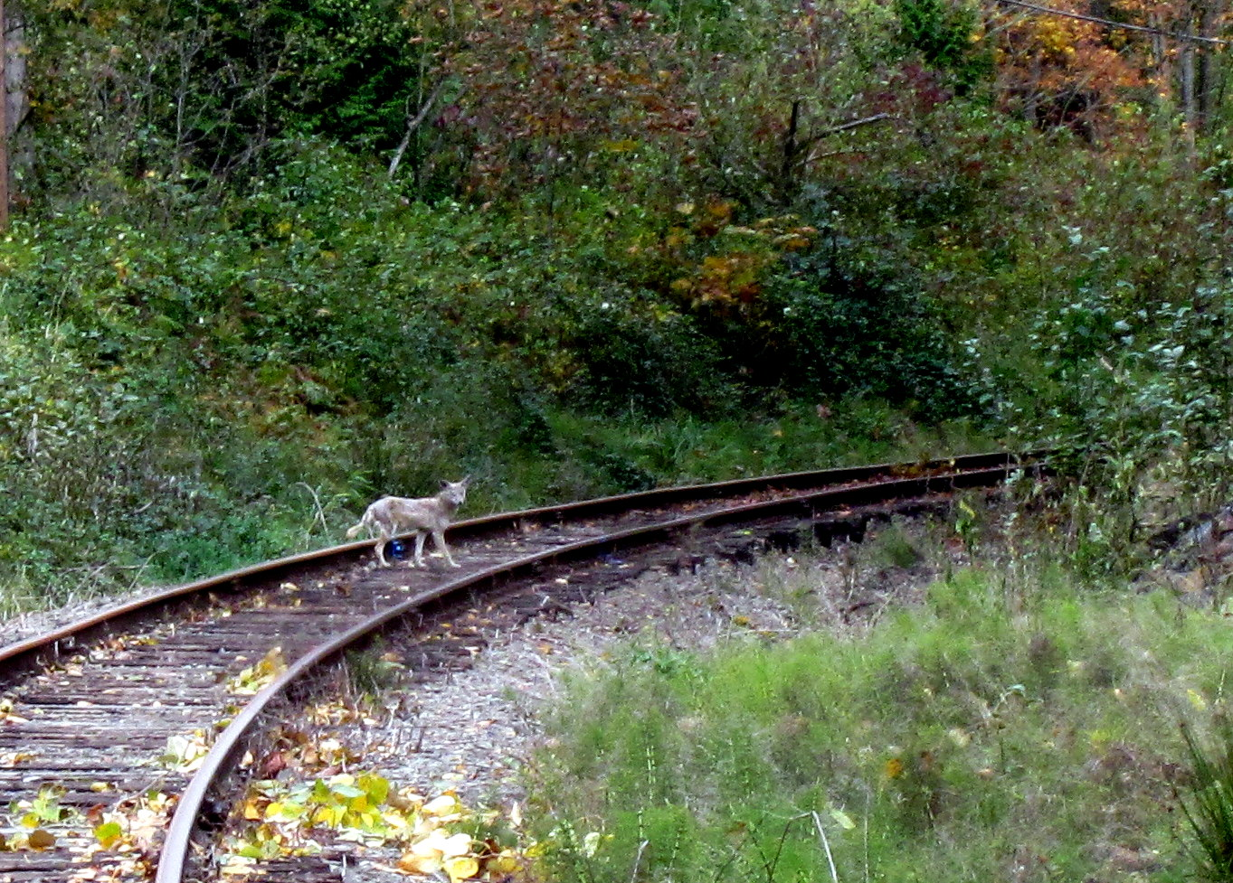 Coyote on old BNSF railroad right-of-way