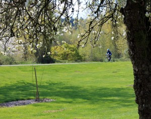 A cyclist passes trees blossoming trees at Neely Soames Homestead