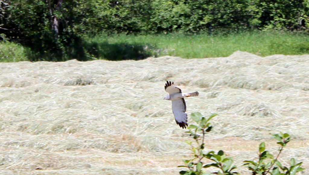 A hawk looks for dinner in a field next to trail.